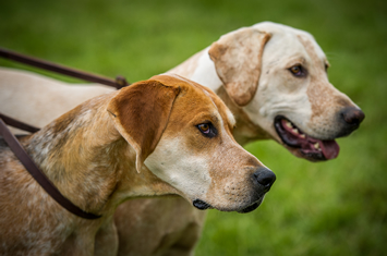 Pair of hunting hounds