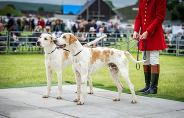 4 hounds being shown