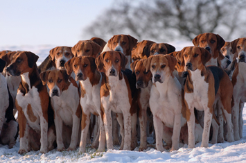 A tight pack of hunting hounds